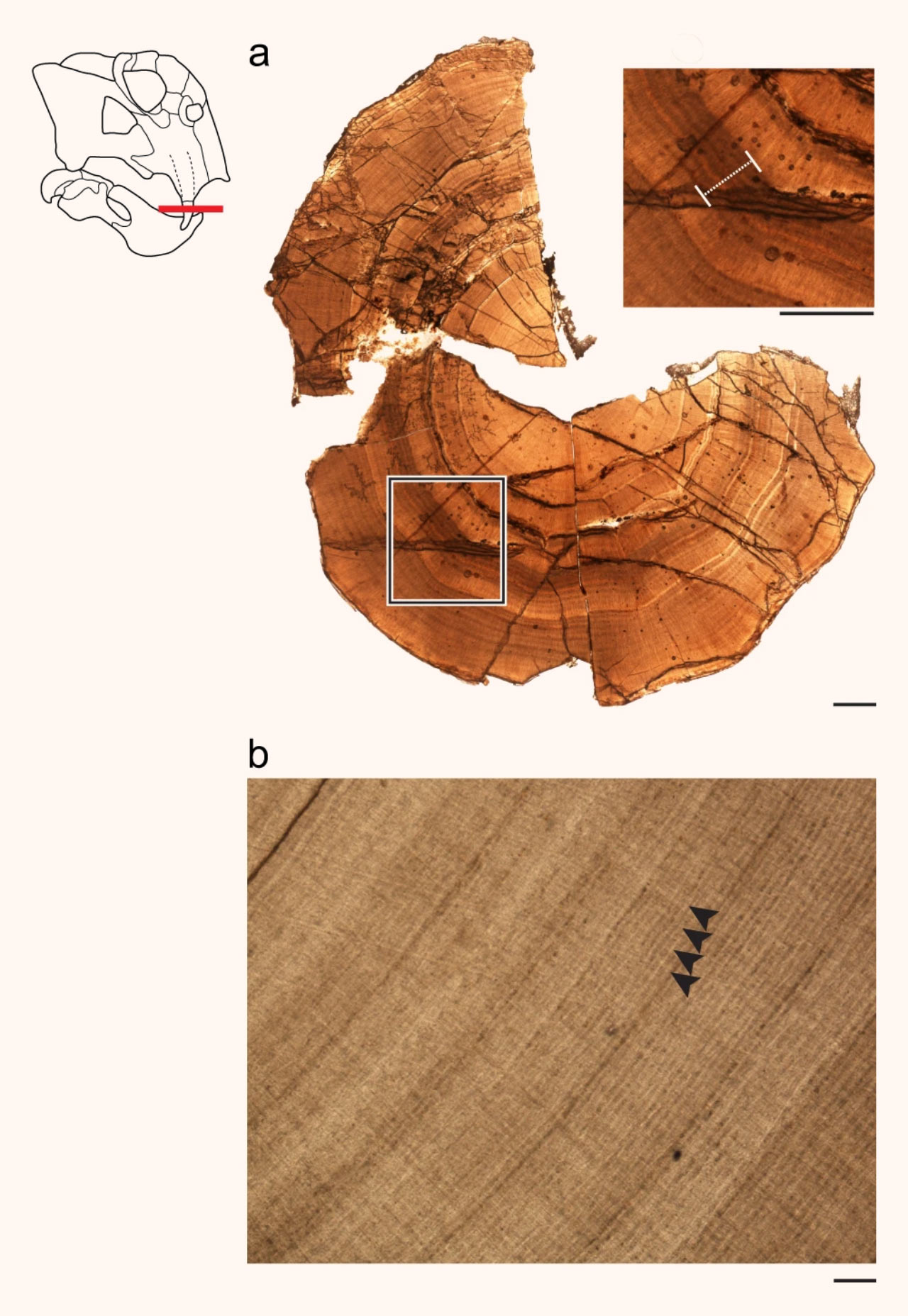 Сечение на бивна на Листрозавър